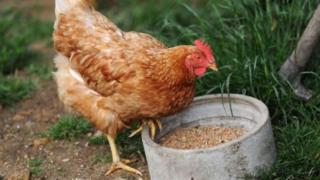 ดูเหมือนว่าการเลี้ยงไก่ในอุซเบกิสถานจะกลายเป็นผลประโยชน์สำคัญของชาติไปเสียแล้ว