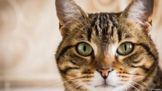 Кошка тэбби