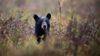 beruang liar