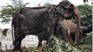 Tubuh kurus kering Tikiri, gajah yang dipakai untuk festival di Sri Lanka.