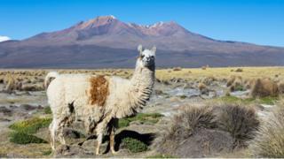 Uma lhama nos Andes, com uma montanha ao fundo