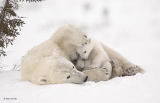 ครอบครัวหมีขั้วโลกในอุทยานแห่งชาติวาพุสก์ เมืองมานิโทบา (Manitoba) ประเทศแคนาดา