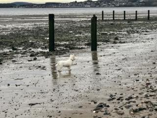 Broughty Ferry beach Breagh, the Westie, poses