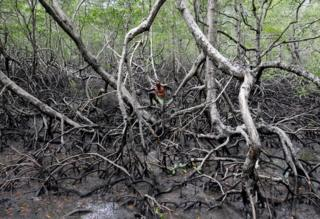 A fisherman stands amongst the roots of mangrove trees