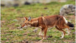 ایتھیوپیا کے بھیڑیے