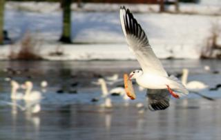 Gull flying with a full slice of bread in its beak.