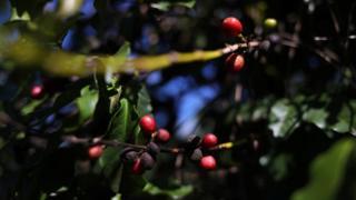 Plantação de café em São João da Boa Vista