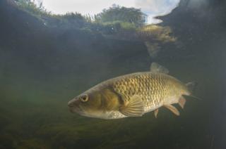 A chub in the River Erewash