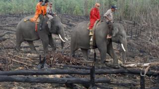 Elephants in Indonesian forest fires