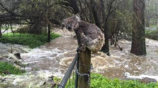 A koala was photographed in South Australia perched on a fencepost surrounded by floodwaters