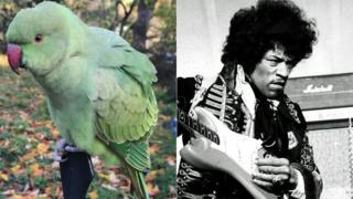 Parakeet and Jimi Hendrix