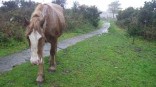 A tethered horse in Swansea