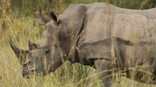 दक्षिण अफ्रीकामा गैंडा