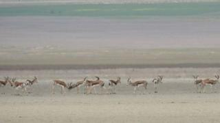 Acınohur gölü ətrafında ceyran sürüsü