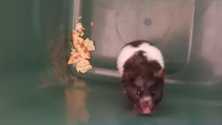 Hamster found in wheelie bin