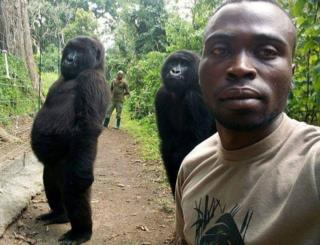 Gorillas posing for selfie in Virunga National Park, DR Congo