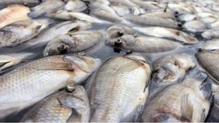 Des poissons morts sur des côtes du Gabon