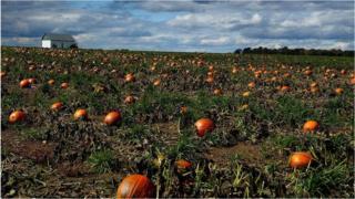Pumpkins await harvest in a field along Rt 165 in Ohio