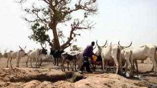 Fulani herdsmen and cow wey plenty