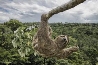 Un perezoso en un árbol en Bahía, Brasil.
