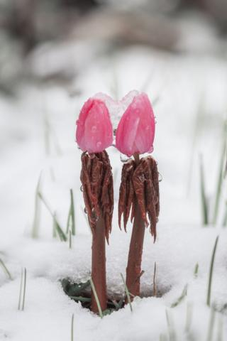 Two pink flower buds covered in water and ice, surrounded by snow