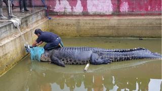 Тварину нелегально утримували на фермі в Мінахасі на півночі Сулавесі