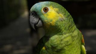 Charlie, a Blue-fronted Amazon parrot