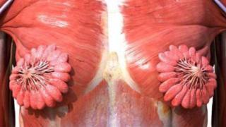 Un diagrama biológico de los conductos mamarios humanos