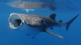 science whale shark