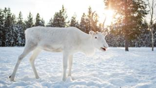 White reindeer in Finland in February 2018