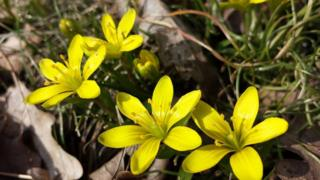 The Radnor Lily (small yellow flowers)