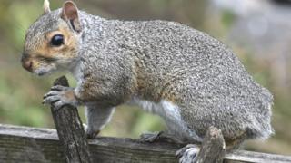Squirrel with a missing tail