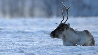 A reindeer photographed in Lapland