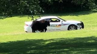 Yak in front of sheriff's car