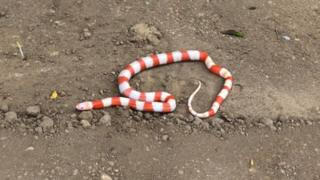 Milk snake found in Ipswich.