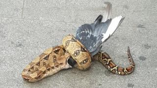 Python eating a pigeon