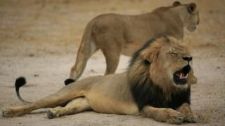 "A much-loved Zimbabwean lion called ""Cecil"" was allegedly killed by an American tourist on a hunt using a bow and arrow in 2015"