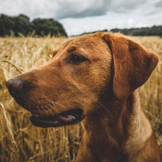 fox red Labrador in a field of wheat