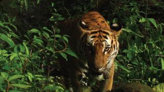 Indochinese tiger, eastern Thailand