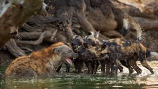سگهای وحشی آفریقایی یا گرگهای نقاشی شده هر کاری را به صورت گروهی انجام میدهند حتی مبارزه با یک کفتار