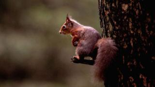 A red squirrel sitting on a perch