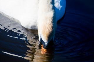 Swan eating bread at Culzean castle