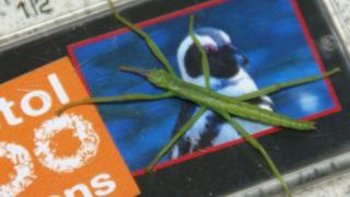 Lord Howe Island stick insect