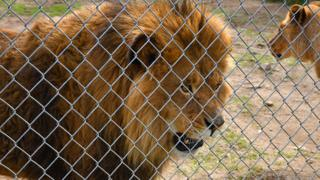 A lion in an enclosure at a Quebec zoo
