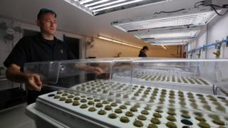 A consultant is seen with marijuana seedlings on the Santee Sioux reservation on 24 September 2015