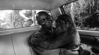 A lowland gorilla in the car with her caretaker
