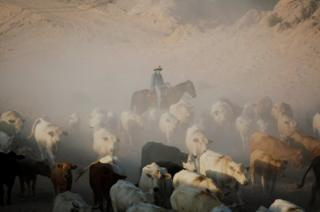 A Cowboy pushes a herd of cattle amidst dust.