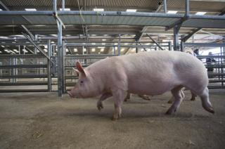 A pig walking