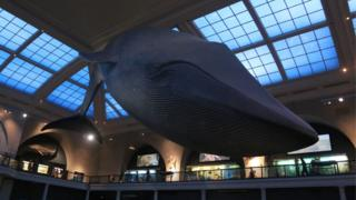 A view of the Hall of Ocean Life in the American Museum of Natural History