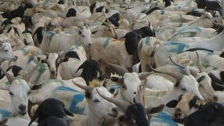 Thousands of sheep and goats being exported to Saudi Arabia from the port of Berbera in the self-declared republic of Somaliland on Monday 29 August